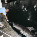 En el Acuario de Veracruz, los tiburones viven más