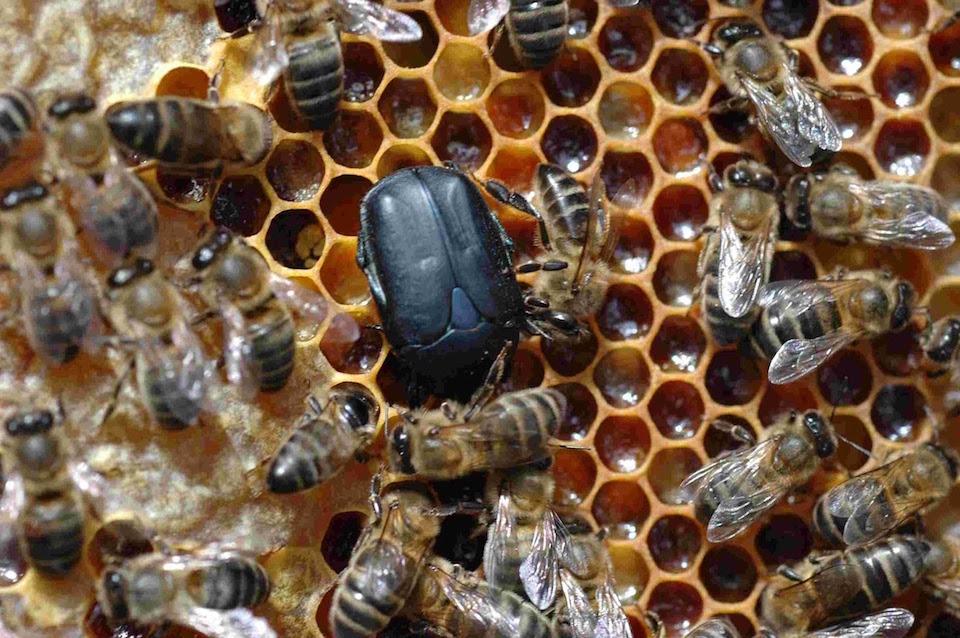 Aethina tumida, El escarabajo de la colmena