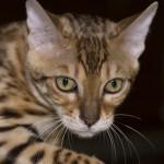El gato de bengala tiene genes de leopardo
