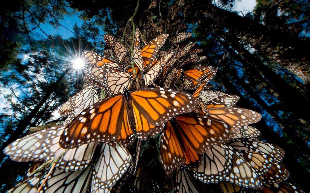 ¿Cómo se orienta la mariposa Monarca en su migración?. Las matemáticas lo explican