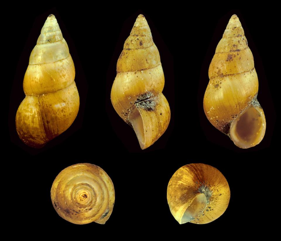 Molusco Hydrobia ulvae- Wikipedia