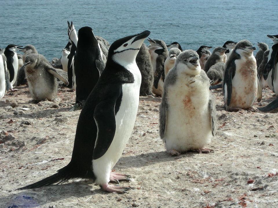 Pingüino antártico, Pygoscelis antarctica- Andrés Barbosa