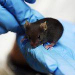 Ratones tartamudos por una mutación genética humana