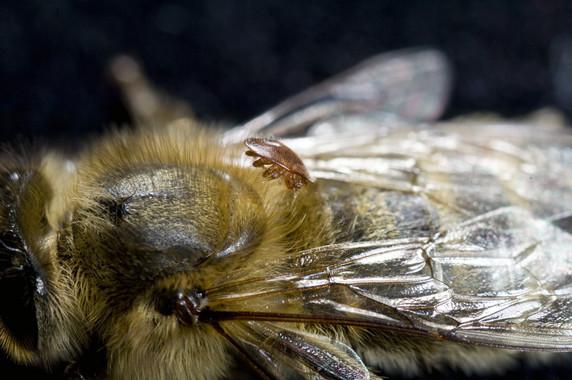 Abeja parasitada por el ácaro ectoparásito Varroa destructor- Rothamsted Research Ltd.