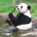 El dolor de estómago frena la vida amorosa de los pandas gigantes
