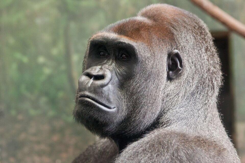 Gorila- Lincoln Park Zoo