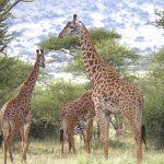 ¿Porqué las jirafas tienen el cuello tan largo?