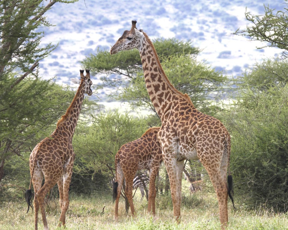 Jirafas, en Tanzania, África- Doug Cavener