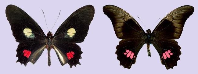 Mariposas Heraclides anchisiades capys y Parides anchises nephalion- Fapesp