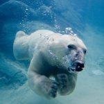 Los osos polares deben nadar más por el deshielo del Ártico