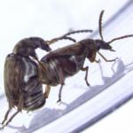 El tira y afloja genético explica la homosexualidad de los escarabajos