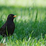 Los excrementos activan el sistema inmunitario de los polluelos