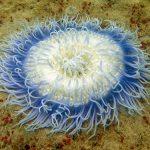 Proteínas de las anémonas de mar cooperan para atacar a sus presas