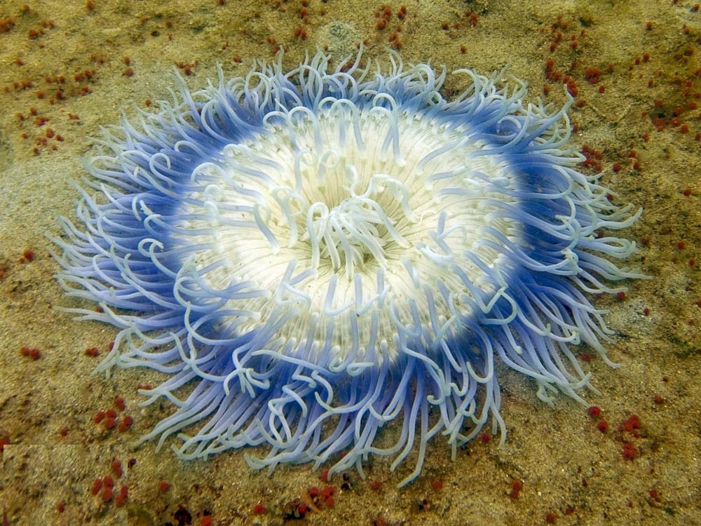 Anemona de mar Macrodactyla doreensis- Chaloklum Diving