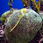 Descubren una pareja de caballitos de mar en las aguas de las islas Cíes