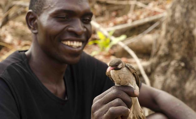 El cazador de miel Orlando Yassene sostiene en su mano a un pájaro guía macho, capturado de manera temporal para el estudio realizado en la Reserva Nacional Niassa en Mozambique. / Claire Spottiswoode