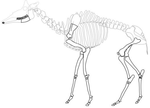 Huesos recuperados del esqueleto de Decennatherium pachecoi. / MNCN
