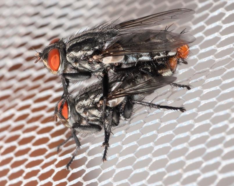 Machos y hembras de la mosca Emblemasoma erro son atraídos por los sonidos que emite la cigarra Neotibicen dorsatus para reproducirse- Entomological Society of America