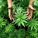 Cannabinoides, alternativa ante el dolor crónico