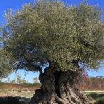 Descifrado el genoma completo del olivo, el árbol más emblemático del Mediterráneo