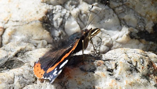 Atalanta (Vanessa atalanta) preparada para absorber néctar. Se puede observar el apéndice bucal, llamado espiritrompa, que tiene forma alargada para llegar al fondo de la flor. / José Luis Ordóñez