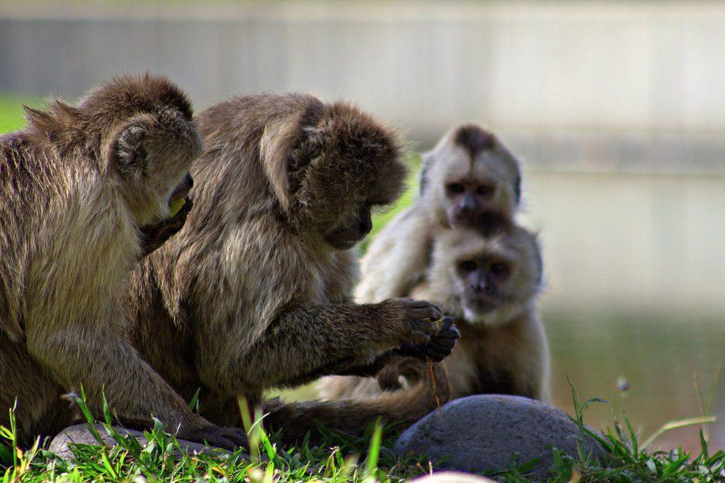 Monos capuchinos- Fernando Flores