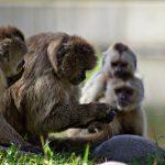 Monos de Brasil utilizan herramientas de piedra desde hace 700 años