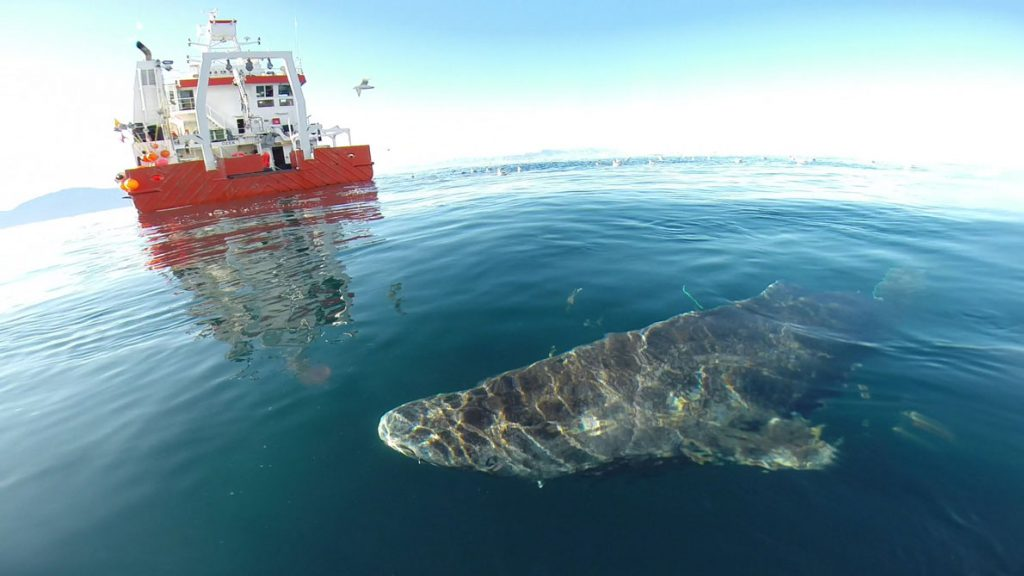 Un tiburón de Groenlandia se aleja de la zódiac para volver a las profundas y frías aguas del fiordo Uummannaq en el noroeste de Groenlandia. / Julius Nielsen