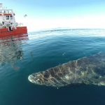 El tiburón de Groenlandia, nuevo récord de longevidad entre los vertebrados