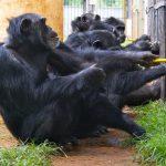 Los chimpancés prefieren cooperar a competir