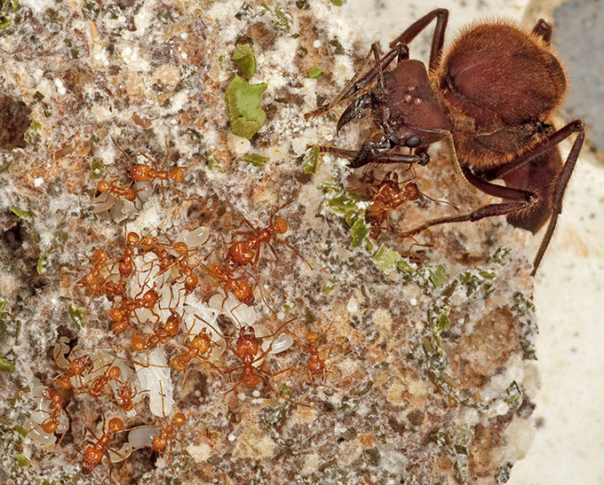 Después de la era de los dinosaurios vino la era de las hormigas agricultoras