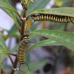 Diseñan sistema computacional para protección y sustentabilidad de la mariposa monarca