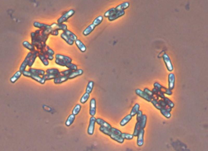 Cepa de Bacillus subtilis