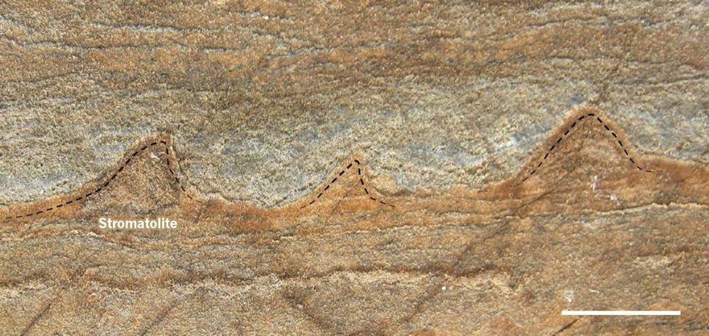 Vista transversal de un fragmento de roca en el que se pueden ver los estromatolitos de forma cónica de 3.700 millones de años de antigüedad. / Yuri Amelin
