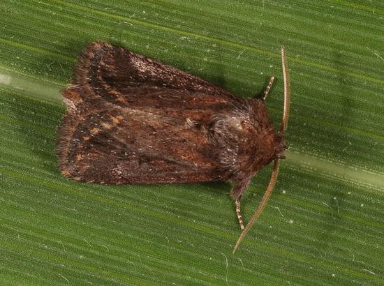 Mariposa Busseola fusca- IRB