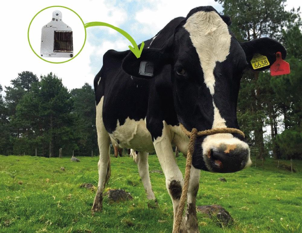 Vaca con arete Life Monitor