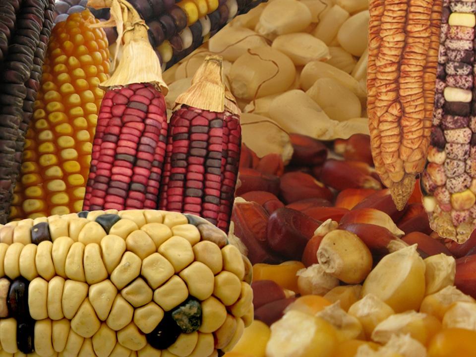 Variedades de maíz. Arturo Orta y Natalia Rentería, AMC