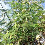 Moringa oleifera, un potencial antioxidante y descontaminante