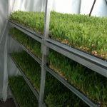 Grass Green, alimento sustentable para ganado a partir de la hidroponía