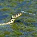 Mitos en la ciencia…Historias y secretos de las serpientes