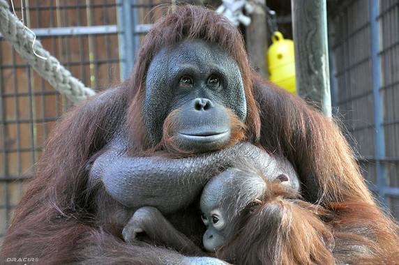 Los monos pueden anticipar correctamente que los humanos buscarán un elemento oculto en un lugar específico, incluso si saben que el objeto ya no está allí / DracirR