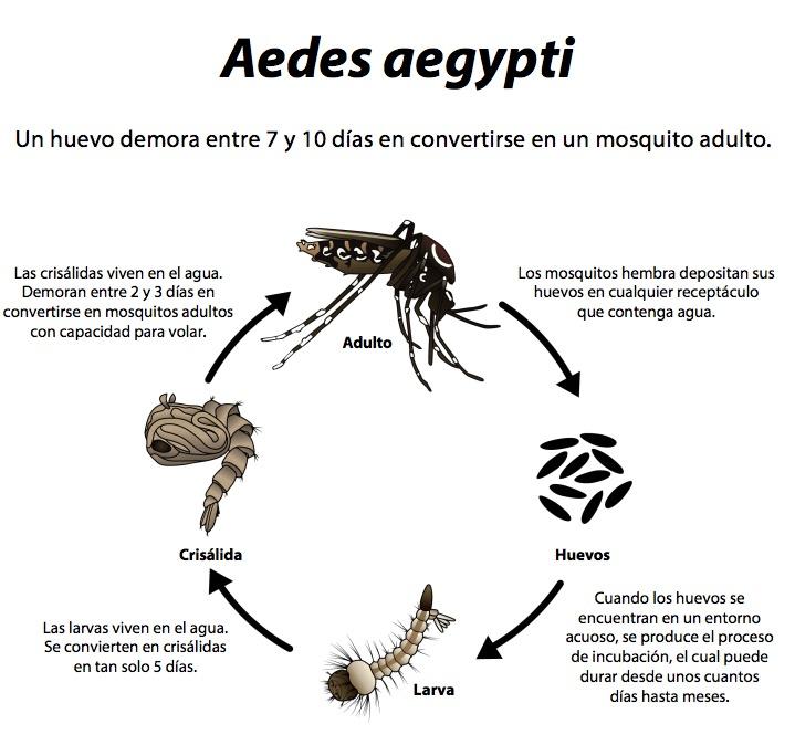 Ciclo de vida del mosquito Aedes aegypti- OMS