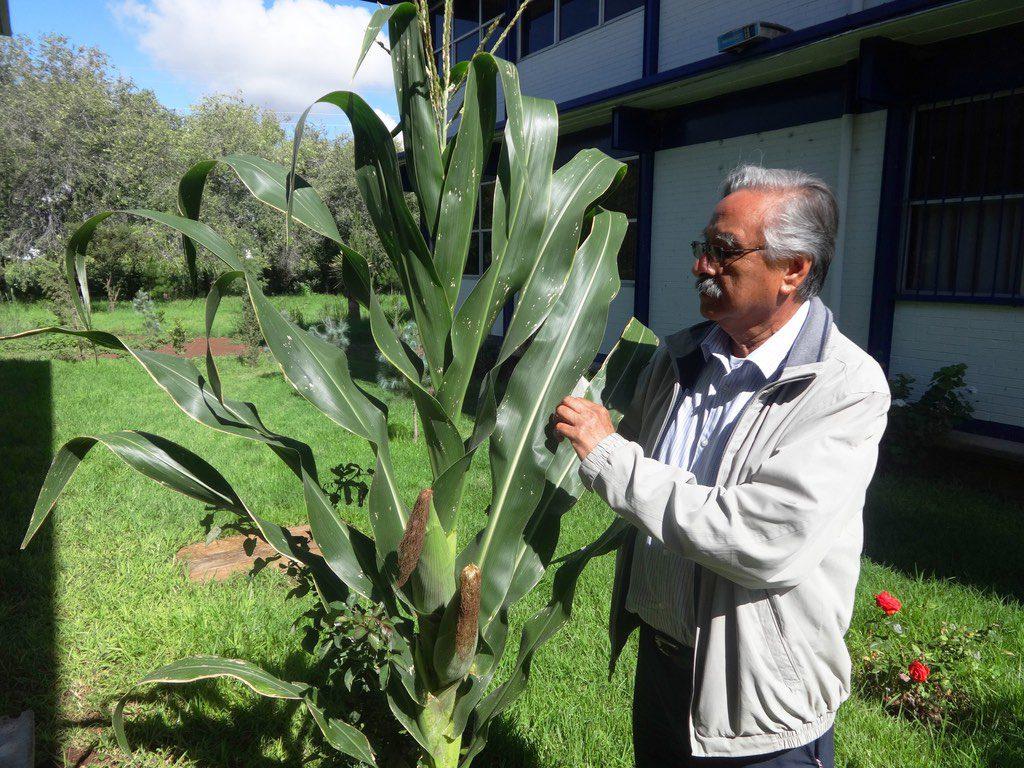 Generan variedades de maíz resistentes a la sequía