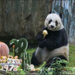 Jia Jia, quien fue el oso panda más viejo del mundo