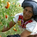 Mujer rural, campesina, cúltivo de tomate