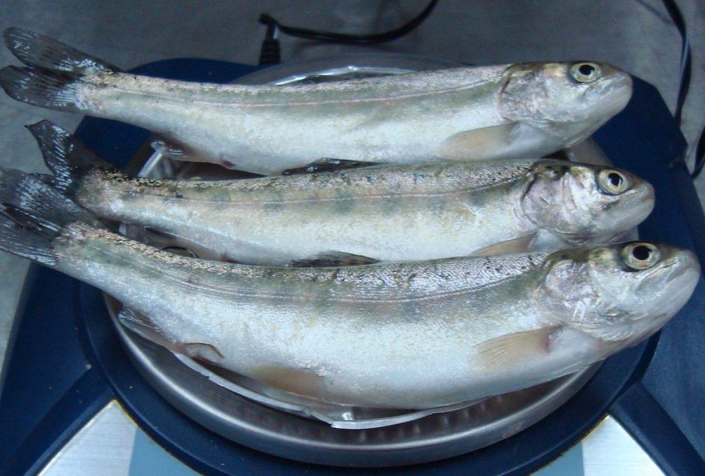 Alimento para truchas con residuo del frijol alef for Alimentos balanceados para truchas