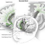Hallan un posible origen de trastornos neurocognitivos