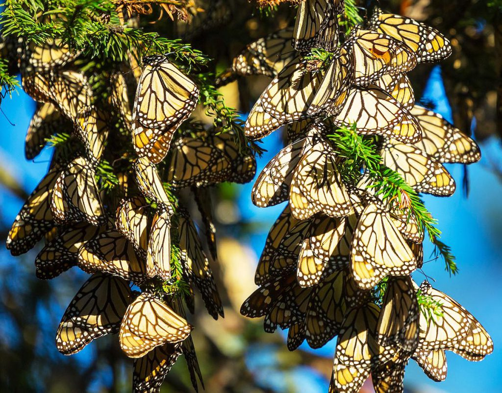 Reserva de la mariposa monarca