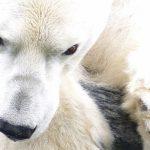 Diseñan una membrana inspirada en el pelo del oso polar