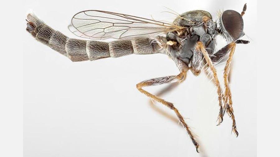 La nueva especie de mosca asesina, Trichoura pardeos. / Torsten Dikow